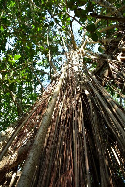 low angle view of a Banyan tree Roots Roots Of Tree Banyan Tree Banyan Tree Roots Tree Low Angle View Forest No People Nature Growth Branch Sky Outdoors Tree Trunk Day Full Frame Beauty In Nature Backgrounds