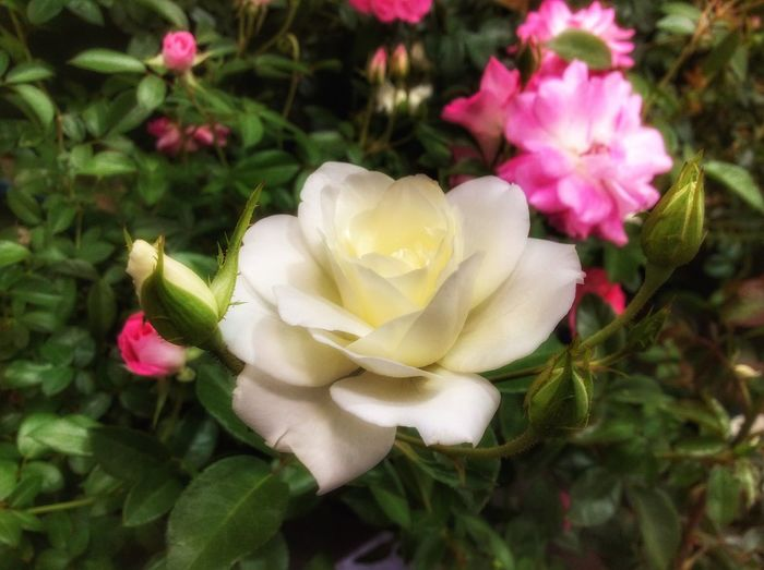 Big white rose and smaller pink roses growing in a rose garden. Flower Petal Nature Pink Color Beauty In Nature Flower Head Plant Growth Freshness Fragility Close-up Blooming No People Outdoors Day White Rose Backgrounds Artiseverywhere EyeEmNewHere Rose Garden Wild Rose Rose - Flower