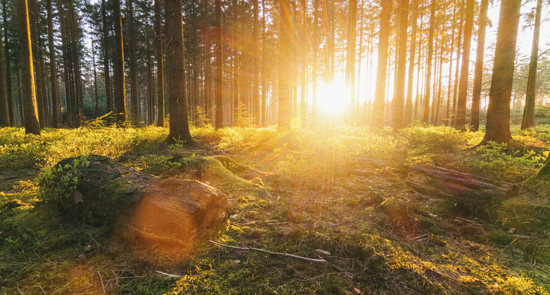 sun shines deep in to the forest at sunset Beauty In Nature Bright Deep Woods Environment Forest Land Landscape Lens Flare Nature No People Non-urban Scene Outdoors Plant Streaming Sun Sunbeam Sunlight Sunrise Sunset Tranquil Scene Tranquility Tree Tree Trunk Trunk WoodLand