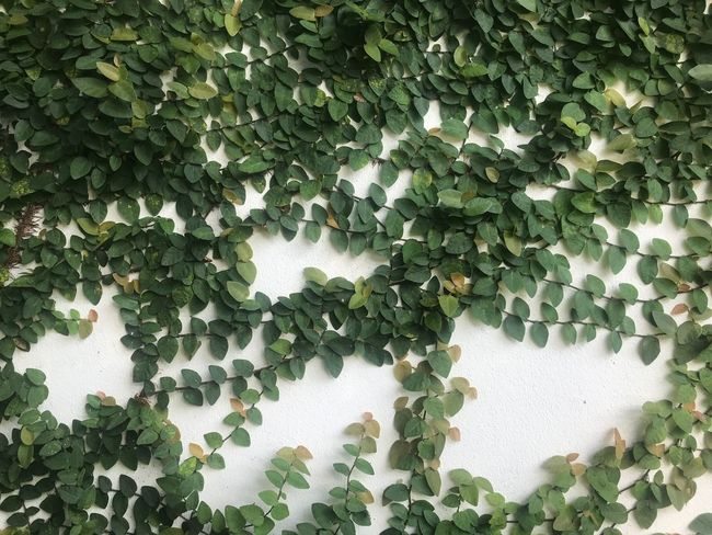 Green Color Growth Plant Leaf Plant Part Ivy No People Low Angle View Full Frame Nature Architecture Day Creeper Plant Wall - Building Feature Beauty In Nature Outdoors Tree Built Structure Backgrounds Sunlight