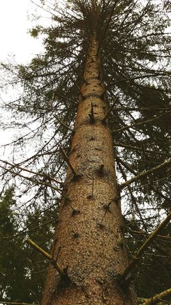 Big Old Tree Old Tree Gran Spruse Tree Love Nature