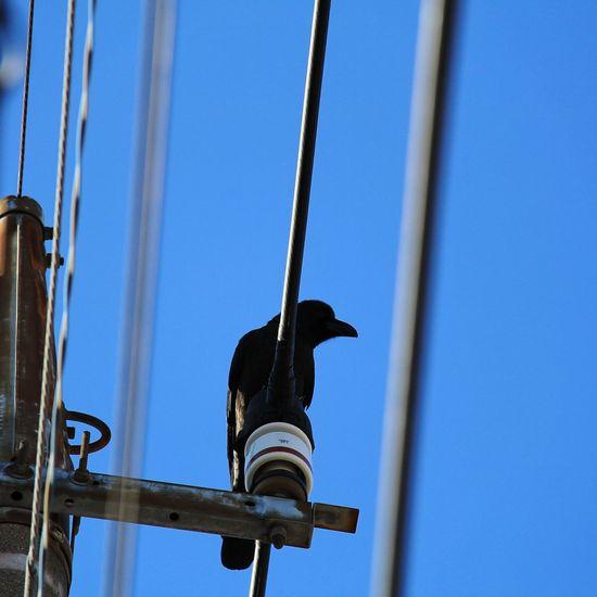 カラス カラス Crow Bird Perching Clear Sky Blue Raven - Bird Sky Close-up