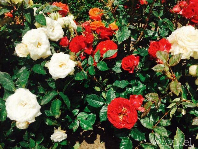 EyeEm Gallery Flower Flowers Spring Flowers Summer Spring Red White Redwhite Nature