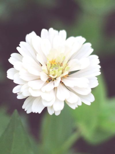 Close-up of white zinnia blooming outdoors
