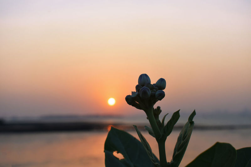 Close-up of silhouette plant against sea during sunset