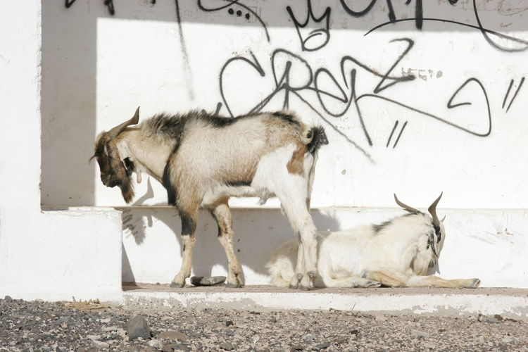 Bad Boy Goats