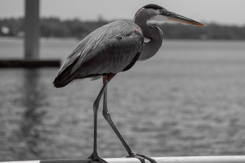 Perched Heron in Selective Color EyeEm Selects Bird Animal Themes Animal Vertebrate Animals In The Wild Animal Wildlife One Animal Focus On Foreground No People Water Beak Nature Day Perching Full Length Water Bird Outdoors Heron Close-up Profile View