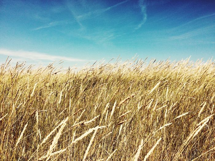 Denmark Grass Sky Nature Plant Beauty In Nature Tranquility Growth No People Low Angle View Scenics - Nature Sunlight Field Landscape Blue Day Land Tranquil Scene Cloud - Sky