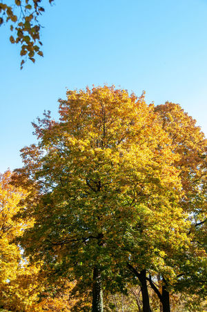 green to yellow Autumn Beauty In Nature Branch Change Clear Sky Day Fall Growth Leaf Low Angle View Natural Condition Nature No People Orange Color Outdoors Plant Plant Part Sky Sunlight Tranquility Tree Yellow