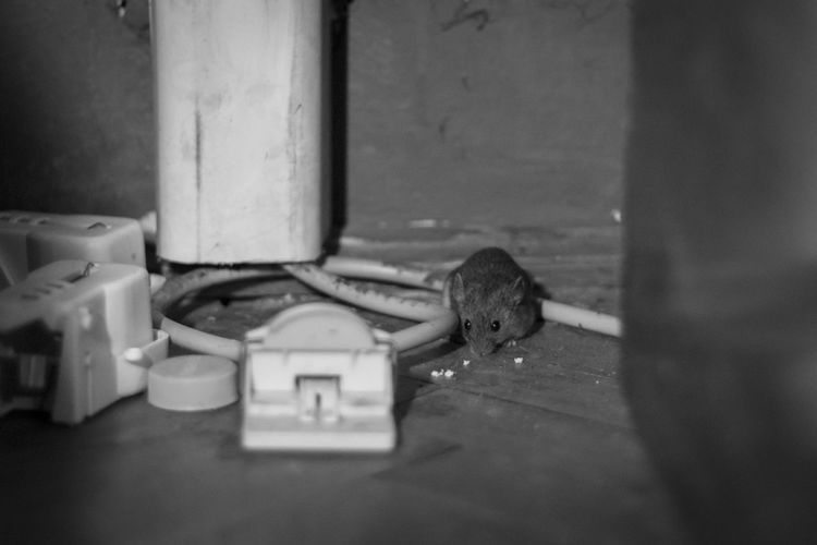 Black & White Close-up Day Fearless Focus On Foreground Mouse Mousetrap No People Selective Focus Set A Trap White Color Wood - Material