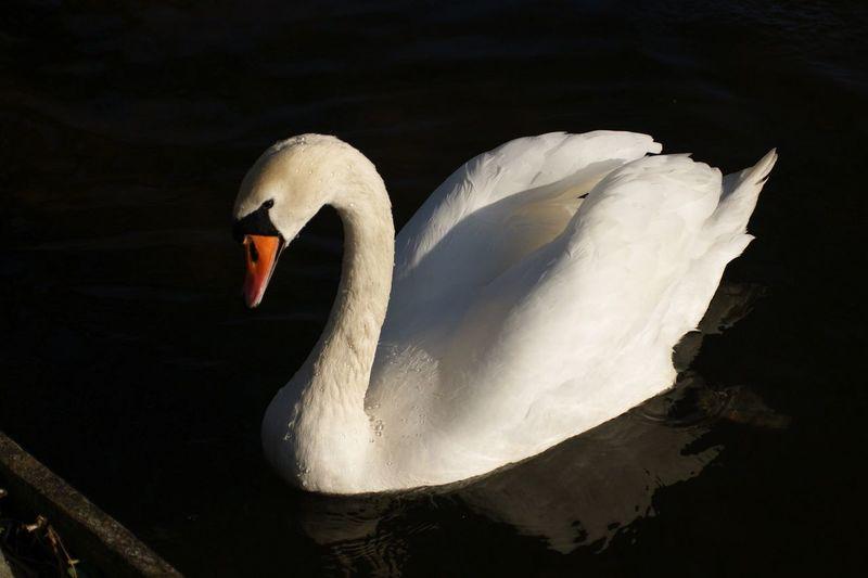 Close-up of swan swimming in lake