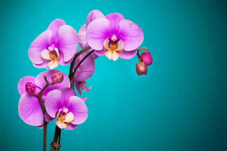 Orchid Orchid Blossoms Orchids Beauty In Nature Close-up Colored Background Flower Flower Head Fragility Freshness Indoors  Nature No People Pink Color Studio Shot