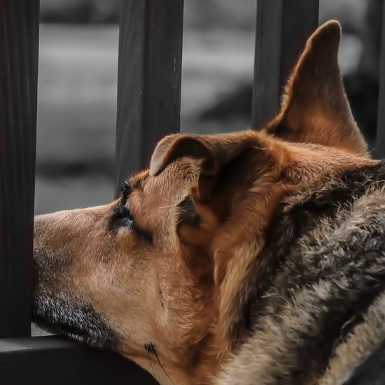 Mammal One Animal Animal Themes Animal Domestic Animals Vertebrate Pets Domestic No People Close-up Focus On Foreground Brown Animal Body Part Relaxation Animal Head  Day Looking Resting Canine