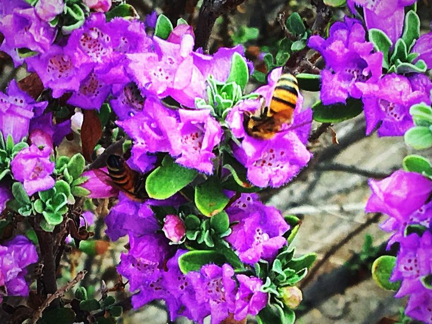 I think these are purple periwinkle bushes, the hard work Honey Bees were all over this bush, photo taken a few mornings ago on my walk. West Wetlands, Yuma, AZ Me Alone Enjoying The Moment Nature Walk IPhone Photography Nature Photography Insect Photography Honey Bees  Plant Flowering Plant Freshness Flower Beauty In Nature Nature No People Outdoors Close-up
