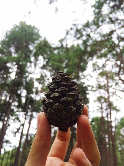 สน Pine Trees Pine Nuts Pinus Beautiful Nature