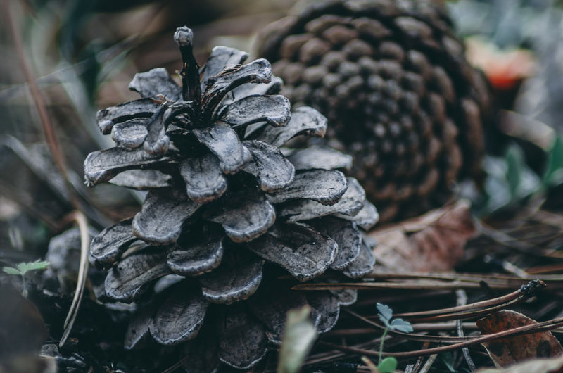 Close-up of pine cones on field in forest