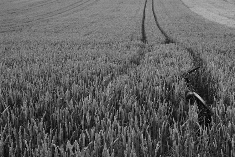 Bicycle in the field Agriculture Beauty In Nature Bike Black And White Bycicle Cereal Plant Crop  Day Farm Field Grass Growth Landscape Lonely Road Lonelyplanet Nature No People Outdoors Rural Scene Scenics Tranquility Wheat Way Holiday On A Farm