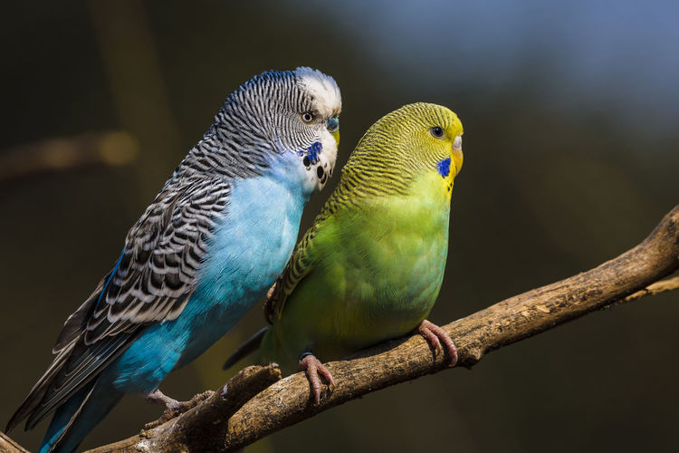 Close-up of parakeets perching on branch