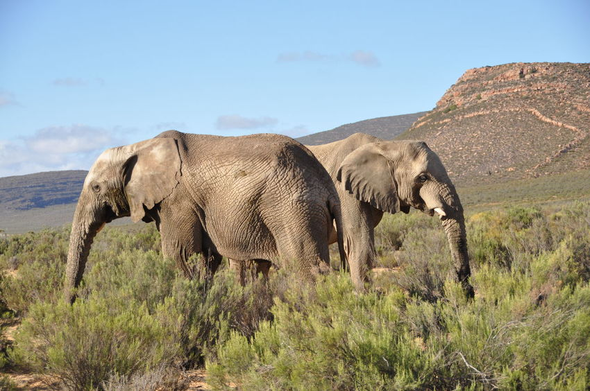 African Elephant Animal Animal Wildlife Animals In The Wild Aquila Game Reserve Beauty In Nature Day Elephant Grass Landscape Nature No People Outdoors Sky Tranquil Scene