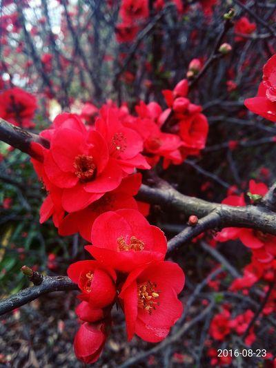Red Wild Flowers Eyeflowers Eyeemflowerlover Flower Porn Flowerlovers Chaenomeles Redflowers Redpetals Thorns Thorns And Beauty Redflower With Yellow Center