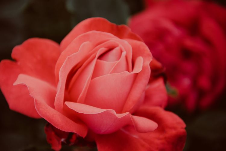 Red Rose.. EyeEm Best Shots Nikon Backgrounds Moody Flowering Plant Flower Beauty In Nature Petal Vulnerability  Fragility Close-up Freshness Plant Inflorescence Rosé Flower Head Rose - Flower Focus On Foreground Growth Nature Day Pink Color Outdoors Red