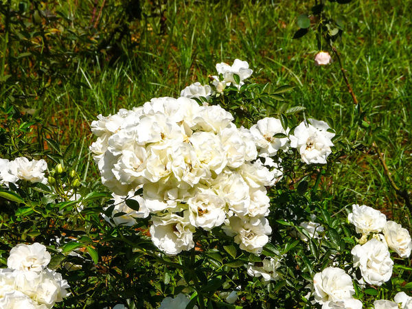 WHITE ROSES White Roses🌹🌹🌹 Plant Beauty Flower Flower Head High Angle View White Color Grass Close-up Plant Blooming Flora Greenery Lush Green Vegetation Blossoming  Spring Young Plant Daytime Countryside Foliage