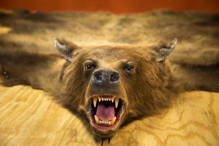 Rather seing him at a taxidermist than on a hiking trail, dead grizzly bear