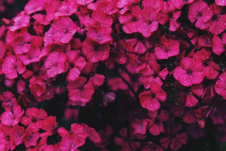 Pink Backgrounds Beauty In Nature Botany Bunch Of Flowers Close-up Day Flower Flower Head Flowering Plant Fragility Freshness Full Frame Growth Inflorescence Lilac Nature Outdoors Petal Pink Color Pink Flower Plant Purple Springtime Vulnerability