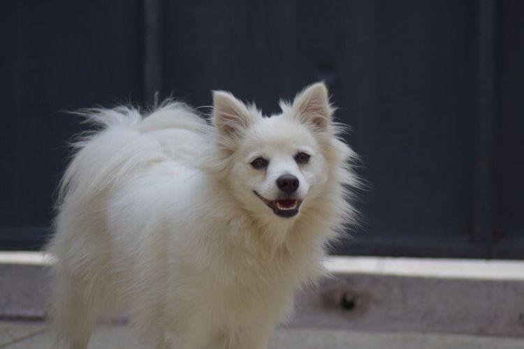 Pomeranian Dog Looking At Camera