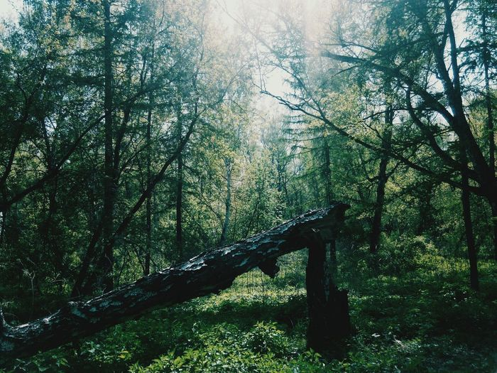 Siberia Forest Tree Nature Beauty In Nature Green Color Tree Area WoodLand Tourism Non-urban Scene Day First Eyeem Photo