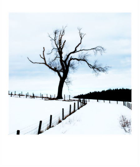 Bare Tree Bare Tree Branches Beauty In Nature Branch Cold Temperature Day Fence Posts Winter Landscape Nature No People Outdoors Sky Snow Stark Winter Tranquility Tree Winter