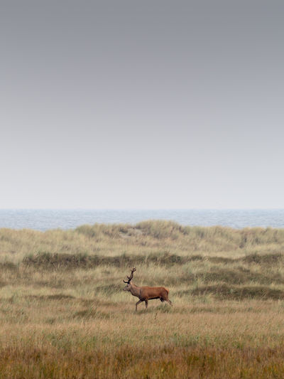 Baltic Sea Deer Ostsee Animal Animal Themes Animal Wildlife Animals In The Wild Copy Space Darß Day Environment Full Length Germany Grass Herbivorous Horizon Horizon Over Land Land Landscape Mammal Nature No People One Animal Outdoors Profile View Semi-arid Side View Sky Vertebrate Wildlife