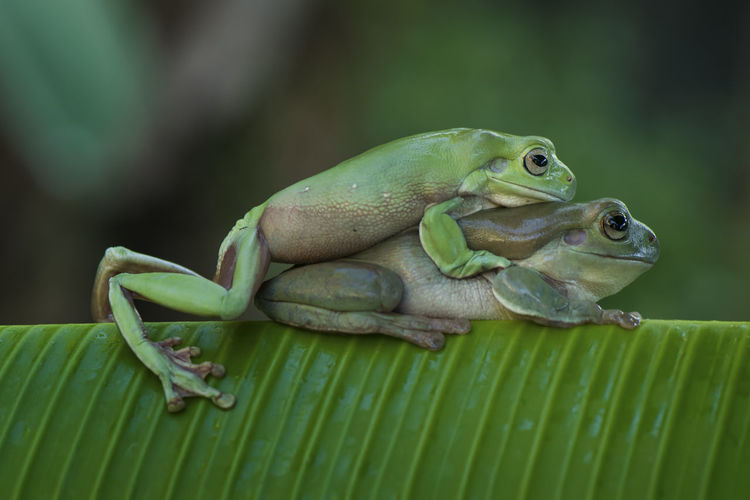 Close-up of frogs mating on banana leaf