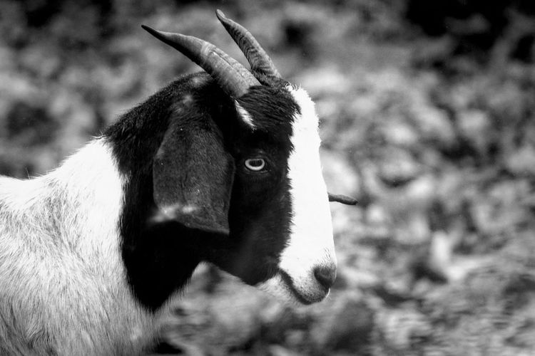 Goat Black And