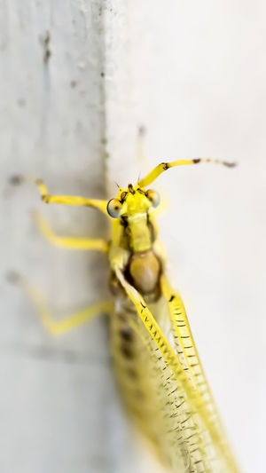 Bright yellow mayfly - Hexagenia Beauty In Nature Close-up Extreme Close-up Hexagenia Insect Macro Macro Beauty Macro Insects Macro Nature Macro Photography Macro_collection Mayfly Nature Selective Focus Yellow Maximum Closeness