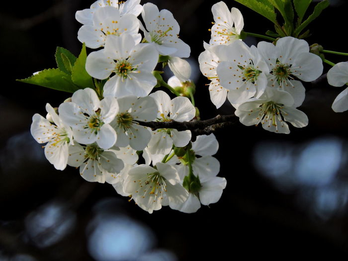 Cherry Blossoms Flower Flowering Plant Vulnerability  Freshness Fragility Plant Beauty In Nature Growth Petal Close-up Flower Head Inflorescence White Color Nature No People Day Springtime Blossom Pollen Focus On Foreground Outdoors Bunch Of Flowers Cherry Blossom Cherry Tree Flower Arrangement