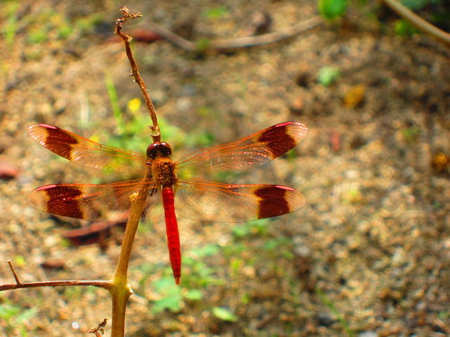 Red Dragonfly Animal Wildlife Animals In The Wild Beauty In Nature Close-up Dragonfly Fragility Insect Red Fleeting fragile Delicate delicate beauty トンボ