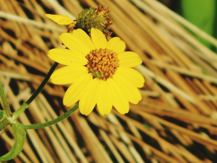 Yellow Flower Blossom Yellow Flower Beauty In Nature Blossom