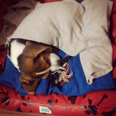 Good night and good dreams. My_dog_beagle Darwin Beagle Pet instapet sleep mysnoopy