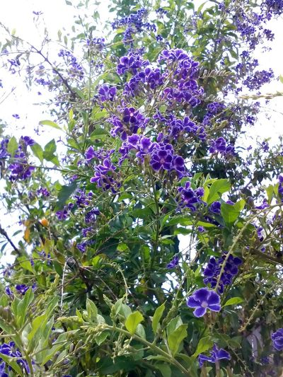 Australian Flower Australian Plants Beauty In Nature Branch Close-up Colors Colour Of Life Day Flower Fragility Freshness Growth Lilac Low Angle View Nature No People Outdoors Purple Tree Wisteria The Great Outdoors - 2017 EyeEm Awards