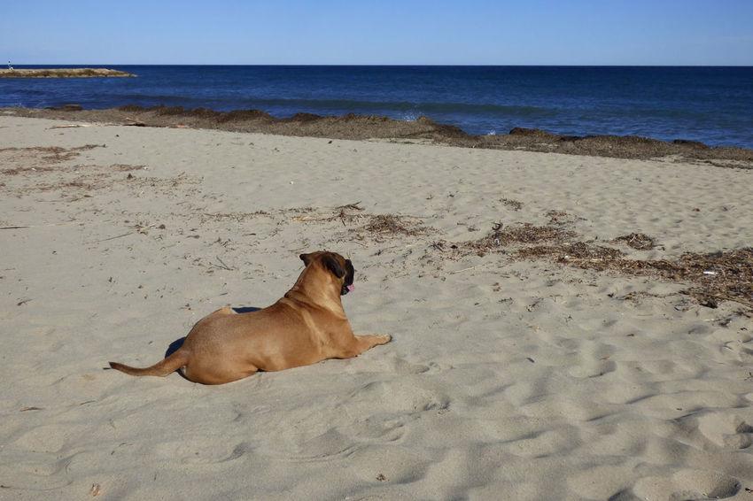 Animal Animal Themes Beach Bullmastiff Canine Dog Domestic Domestic Animals Horizon Horizon Over Water Land Mammal Nature No People One Animal Pets Sand Sea Sky Vertebrate Water