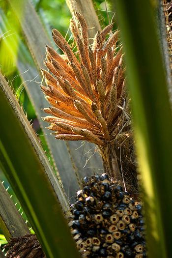 Dried oil palm