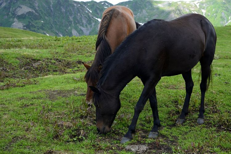 Day Domestic Animals Georgia Grass Horse Kaukasus Mountains Mountain Nature No People