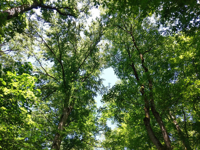 looking up at crowns of trees Happiness Beauty In Nature Directly Below Forest Green Color Growth Low Angle View Nature Outdoors Plant Sky Sunlight Tranquility Tree Tree Canopy  Tree Crowns Tree Trunk Trunk