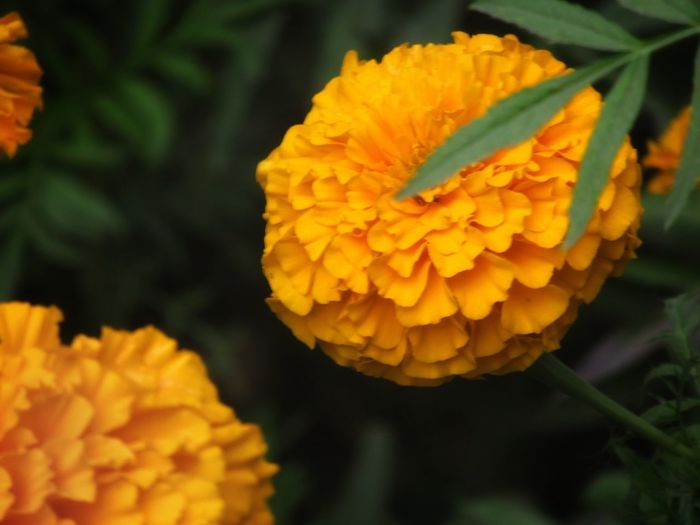 hiding the subject Nature Photography Nature In Wild Natural Light Fit For Wallpaper Bokeh Photography Flower Head Covering Subject Flower Freshness Fragility Yellow Nature Beauty In Nature Close-up Marigold Flower Head Outdoors Day No People