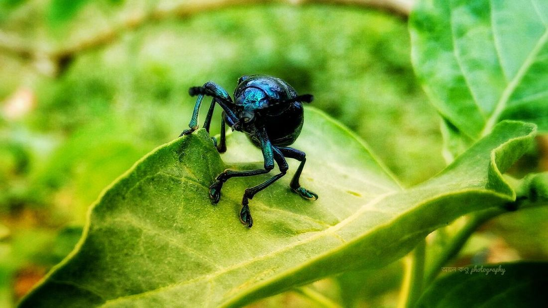 Blue insect on the green leave Leaf Insect Green Color Plant Nature Day Outdoors Focus On Foreground No People Animals In The Wild Animal Themes One Animal Close-up