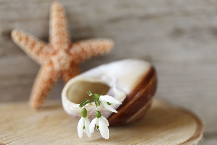 Close-up of snowdrops on seashell against dry star fish