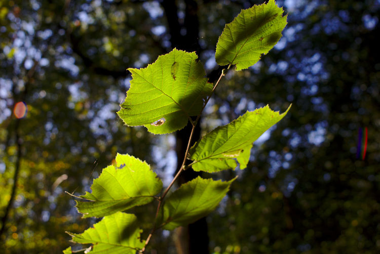 Bilder aus dem Herbstwald Herbst Nature Beauty In Nature Close-up Day Focus On Foreground Freshness Germany Green Color Growth Leaf Leaves Low Angle View Nature No People Oberlausitz Outdoors Plant Plant Part Saxony Selective Focus Sunlight Tranquility Tree Vulnerability