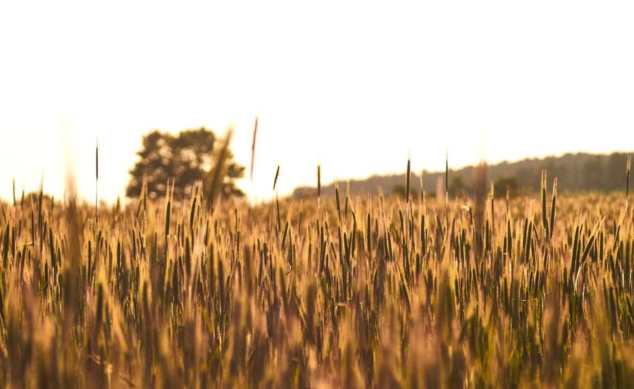 Cornfield while afternoon sun Plant Sky Growth Beauty In Nature Landscape Field Land Tranquility No People Nature Environment Scenics - Nature Tranquil Scene Agriculture Rural Scene Crop  Day Clear Sky Outdoors Idyllic
