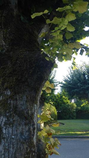 Tronc Chene Oak
